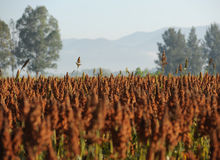Sorghum Field. Close Up of Sorghum Field Royalty Free Stock Photo