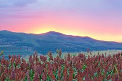 Sorghum field in evening stock images