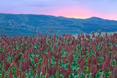 Sorghum field in evening. The landscape of sorghum field in evening with afterglow stock photography