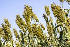 Sorghum. Field in a farm in Brazil Royalty Free Stock Photography