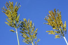 Sorghum. Field in a farm in Brazil Royalty Free Stock Images