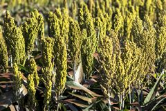 Sorghum. Field in a farm in Brazil Royalty Free Stock Image