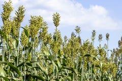 Sorghum. Field in a farm in Brazil Stock Image
