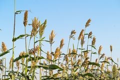 Sorghum in field of feed for livestock. Millet or Sorghum an important cereal crop in field, Sorghum a widely cultivated cereal native to warm regions. It is a Stock Photography
