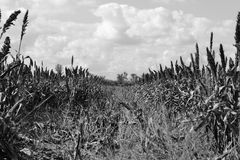 Sorghum field with grains. Black and withe Stock Photography