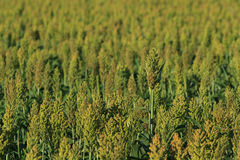 Sorghum field. Sorghum growing in a large field background with copy space Royalty Free Stock Images