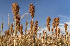 Sorghum field in Kansas stock images