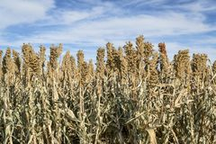 Sorghum field in Kansas. White sorghum field in western Kansas ready for harvest Royalty Free Stock Image
