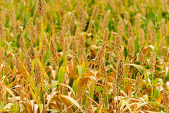 Sorghum field in Kinmen, Taiwan. Sorghum in the farm land Stock Photography