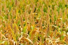 Sorghum field in Kinmen, Taiwan Stock Photography