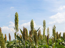 Sorghum field Stock Photography