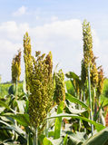 Sorghum field. Sorghum or Millet field with blue sky background stock photography