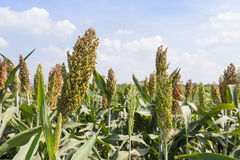 Sorghum field. Sorghum or Millet field with blue sky background Royalty Free Stock Photos
