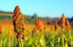Sorghum field in morning sun light. Sorghum field in morning sun light background Royalty Free Stock Photography