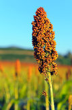 Sorghum field in morning sun light. Sorghum field in morning sun light background Stock Photography
