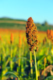 Sorghum field in morning sun light. Royalty Free Stock Photography