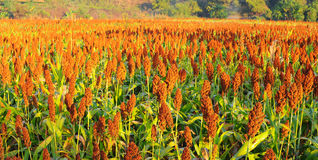 Sorghum field in morning sun light. Sorghum field in morning sun light background stock images