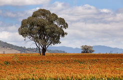 Sorghum field near Quirindi. Sorghum, a cereal grain, is the fifth most important cereal crop in the world, largely because of its natural drought tolerance and Royalty Free Stock Photography