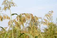 Sorghum in a field. Reipen sorghum stalks in a field in summer stock photos