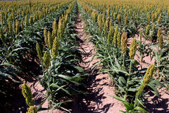 Sorghum Field Rows. Rows of sorghum grow in field Royalty Free Stock Photos