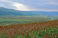 Sorghum field scenery. The landscape of gentle hills with many sorghum field stock image