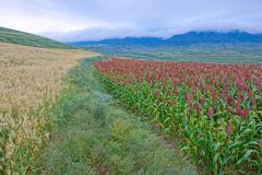 Sorghum field scenery. The landscape of gentle hills with many sorghum field stock photo