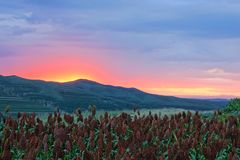 Sorghum field scenery. The landscape of sorghum field in the sunset flow royalty free stock image