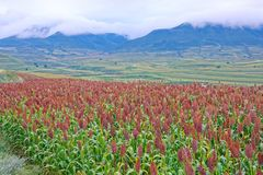 Sorghum field scenery. The landscape of sorghum field in valley royalty free stock image