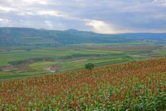 Sorghum field. The scenery of sorghum field on mountain slope royalty free stock photos