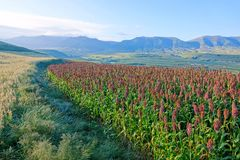 Sorghum field. The scenery of sorghum field on mountain slope stock photos