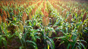Sorghum field in sunrise Royalty Free Stock Photo