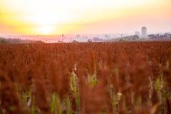 Sorghum field sunset background. Sertaozinho beautiful sky Royalty Free Stock Photos
