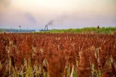 Sorghum field sunset background. Sertaozinho beautiful sky royalty free stock photo