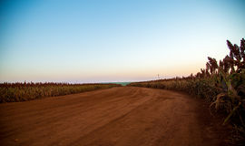 Sorghum field sunset background. Sertaozinho beautiful sky Stock Photos