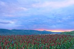 Sorghum field in sunset glow. The landscape of Sorghum field in sunset glow stock photo