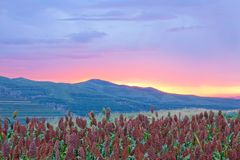 Sorghum field in sunset glow. The landscape of Sorghum field in sunset glow stock images