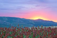 Sorghum field in sunset glow. The landscape of Sorghum field in sunset glow stock image