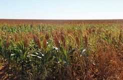 Sorghum field. A sorghum field in Texas in fall stock photography