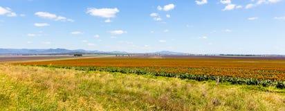 Sorghum fields near Quirindi New South Wales. Scenic sorghum fields near Quirindi New South Wales Australia royalty free stock photos