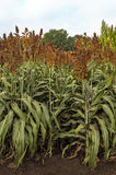 Sorghum fields. Sorghum plantation field, agricultural concept Royalty Free Stock Photos