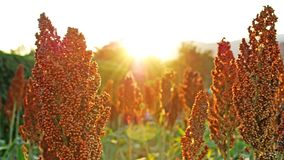 Free Sorghum Filed Royalty Free Stock Images - 14269549