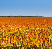 Sorghum Grain Field. Sorghum grains growing in endless fields ready for harvest royalty free stock images