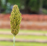 Sorghum. Is a grain and some used as fodder plants Stock Photos