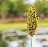Sorghum. Is a grain and some used as fodder plants Stock Photo