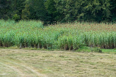 Sorghum Harvest. Royalty Free Stock Photography
