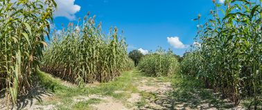 Sorghum Harvest. Panorama of a north Mississippi sorghum field at harvest time Royalty Free Stock Images