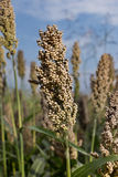 Sorghum head closeup Stock Photography