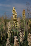 A sorghum head Stock Photos