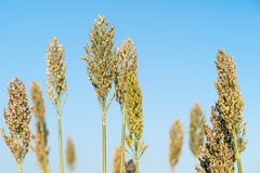 Sorghum or Millet agent blue sky. Close up Sorghum or Millet an important cereal crop agent blue sky royalty free stock image