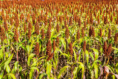 Sorghum. Royalty Free Stock Photography